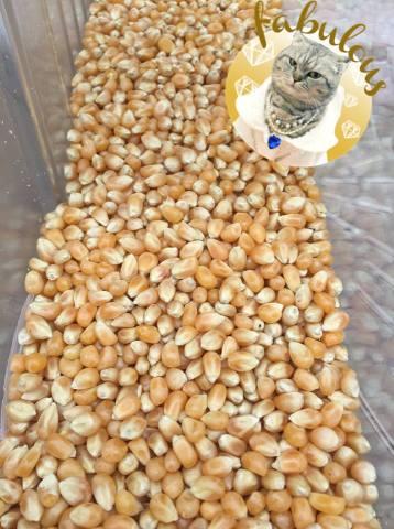 Kukurydza z Kooperatywy Dobrze